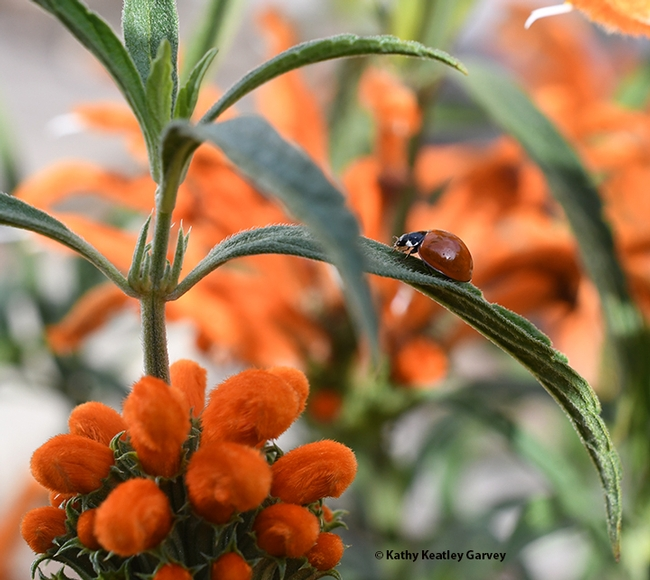 The lady beetle, aka ladybug, blends in with her environment, the spiked orange blossoms of a lion's tail. (Photo by Kathy Keatley Garvey)