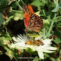 A Gulf Fritillary butterfly, Agraulis vanillae, shares the nectar of a passionflower (Passiflora) with three honey bees. (Photo by Kathy Keatley Garvey)