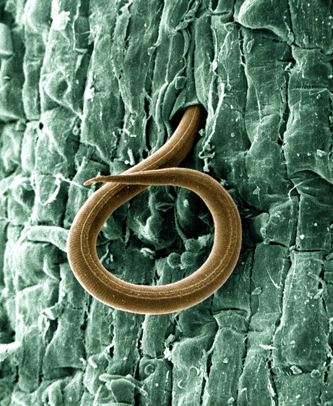 A juvenile root-knot nematode (Meloidogyne incognita) penetrates a tomato root on Jan. 24, 2013. Once inside, the juvenile, which also attacks cotton roots, causes a gall to form and robs the plant of nutrients. Photo by William Wergin and Richard Sayre. Colorized by Stephen Ausmus. (USDA Photo, Courtesy of Wikipedia)