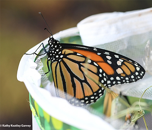 A newly eclosed monarch (September 2020) readies for flight in Vacaville, Calif. (Photo by Kathy Keatley Garvey)