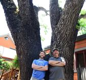 Forest entomologists Jackson Audley (left) and the late Steve Seybold next to a black walnut tree, the victim of thousand cankers disease, in downtown Davis. (Photo by Kathy Keatley Garvey)