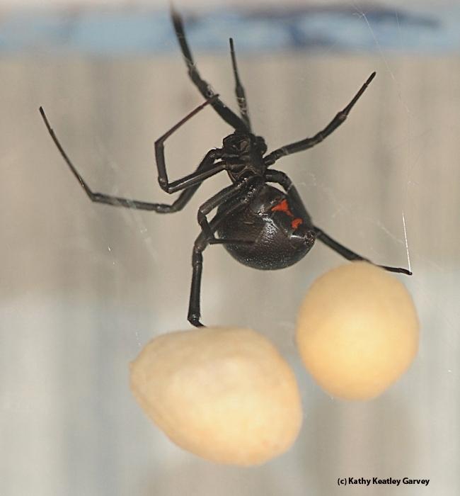 A mama widow spider juggles her egg sacs. (Photo by Kathy Keatley Garvey)