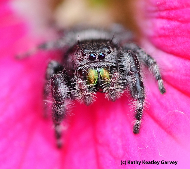 A jumping spider eyes the photographer. (Photo by Kathy Keatley Garvey)