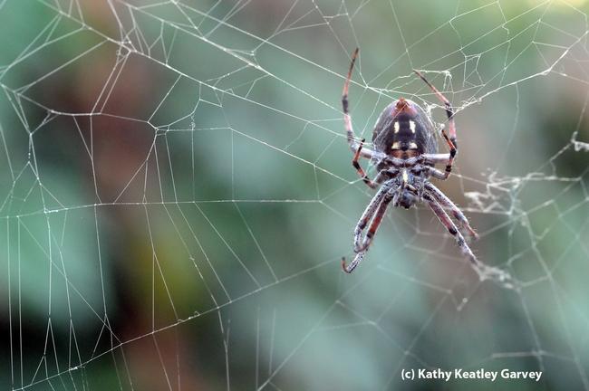 A garden spider lying in wait for prey in its web. (Photo by Kathy Keatley Garvey)