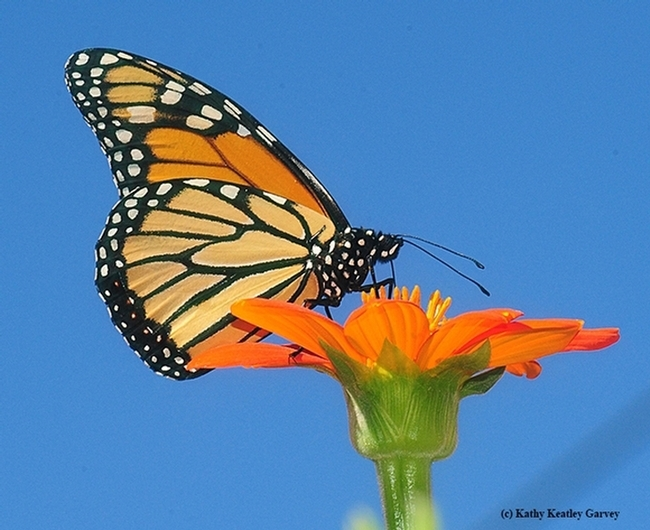 A monarch butterfly nectaring on a Mexican sunflower, Tithonia rotundifolia. (Photo by Kathy Keatley Garvey)