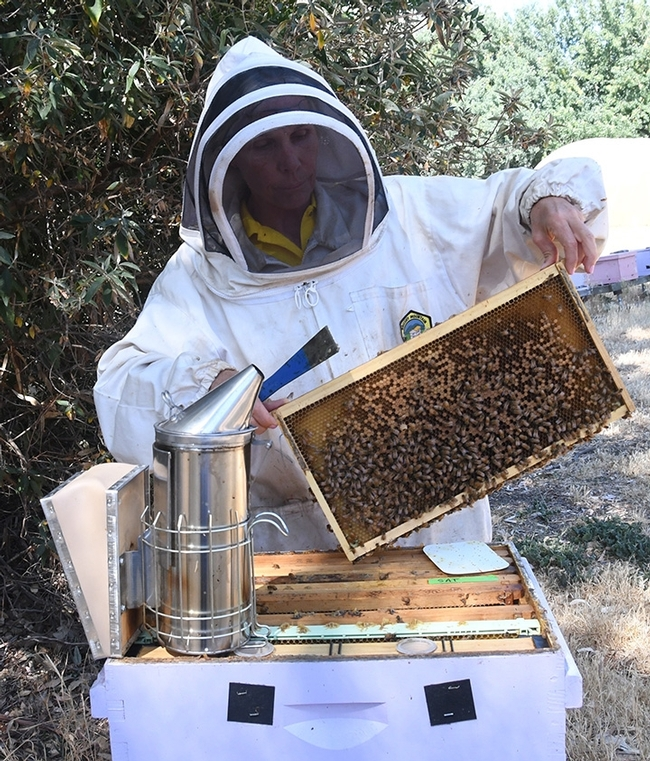 Are beekeepers immune from COVID infections? No, according to newly published research in the journal Toxicon. (Photo by Kathy Keatley Garvey)
