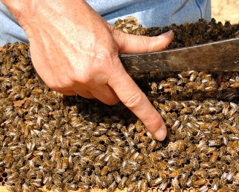 A beekeeper examines a frame. (Photo by Kathy Keatley Garvey)