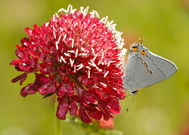 Gray hairstreak (Strymon melinus) on a red pincushion flower (Scabiosa). (Photo by Kathy Keatley Garvey)