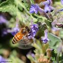 A honey bee buzzing in a patch of catmint. (Photo by Kathy Keatley Garvey)