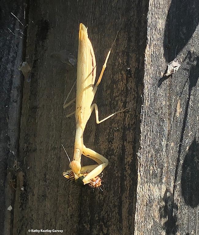 A praying mantis eating its prey, a Gulf Fritillary caterpillar. (Photo by Kathy Keatley Garvey)