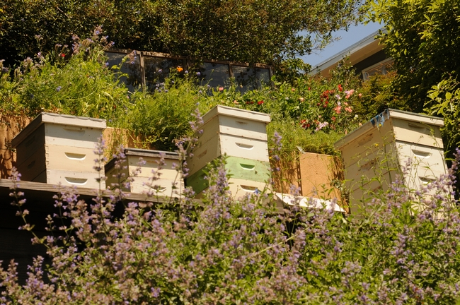 Hillside hives at the Mill Valley home. (Photo by Kathy Keatley Garvey)