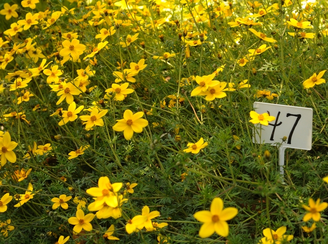 Bur marigolds (Bidens ferulifolia) brighten the garden. (Photo by Kathy Keatley Garvey)