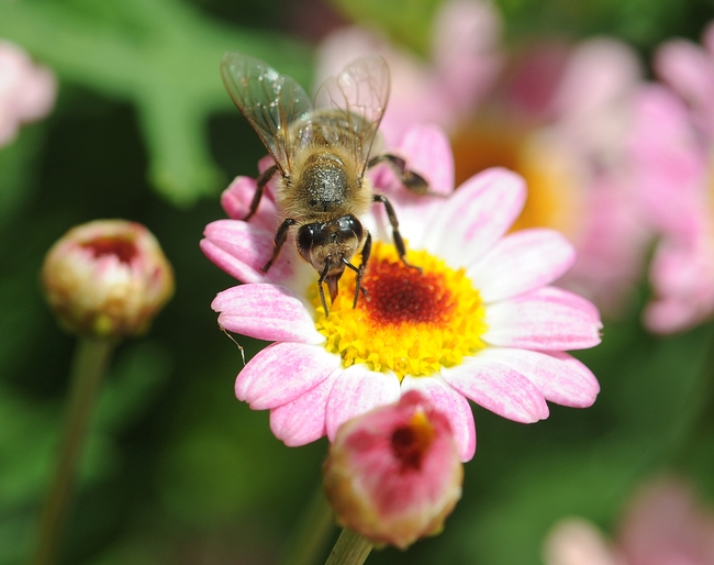 Honey bee (Apis mellifera) sips nectar from a marguerite daisy. (Photo by Kathy Keatley Garvey)