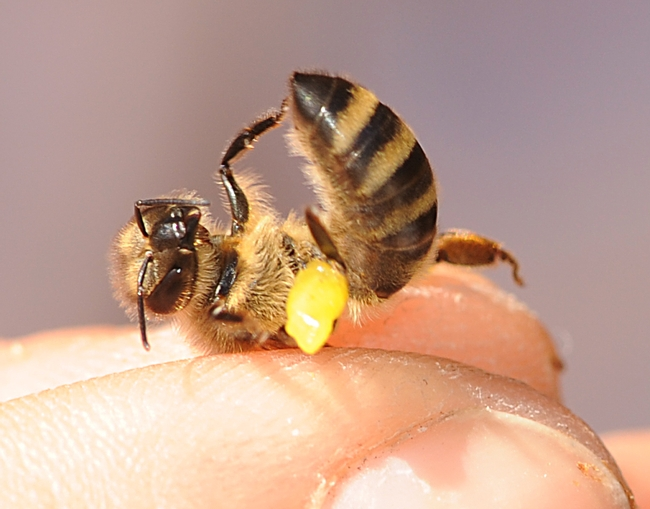 Honey bee with a load of propolis which her sisters later unloaded. (Photo by Kathy Keatley Garvey)