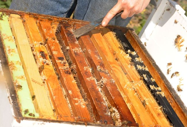 UC Davis beekeeper Elizabeth Frost uses her hive tool to pry open the frames. (Photo by Kathy Keatley Garvey)