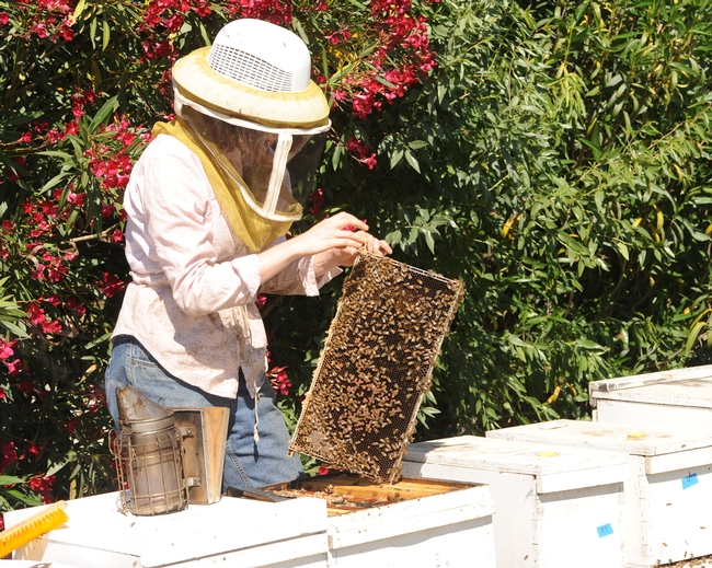 UC Davis beekeeper Elizabeth Frost tending hives. (Photo by Kathy Keatley Garvey)