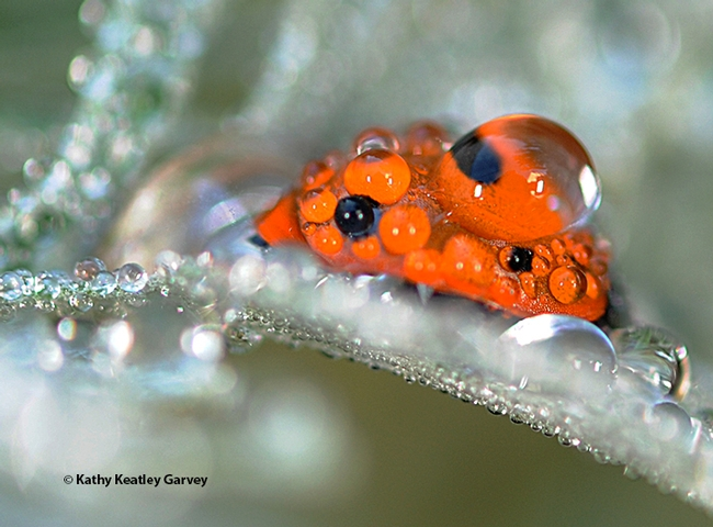 A lady beetle, aka ladybug, covered with rain droplets on Artemisia in Vacaville, Calif. (Photo by Kathy Keatley Garvey)