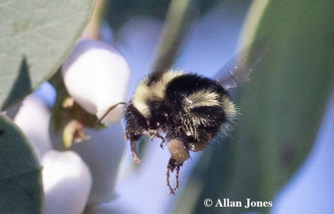 Allan Jones of Davis captured this image of a black-tailed bumble bee, Bombus melanopygus, on Jan. 6, 2020 in the UC Davis Arboretum and Public Garden. (Photo by Allan Jones)