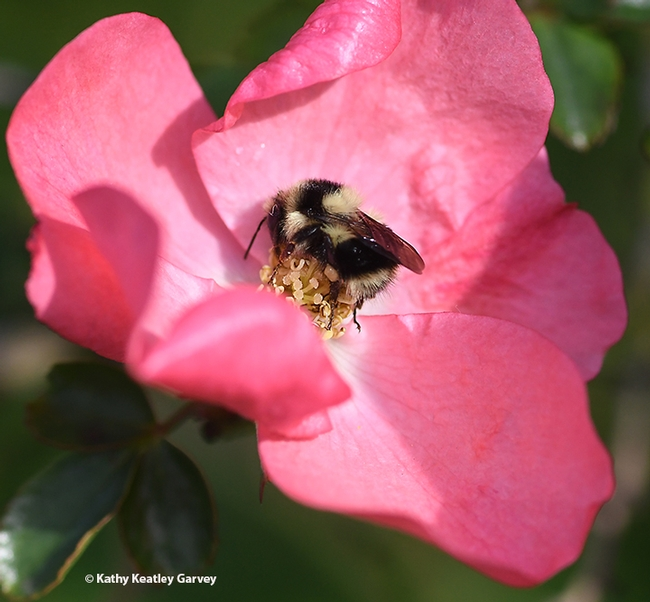 A black-tailed bumble bee, Bombus melanopygus, nectaring on a rose on Jan. 25, 2020 in Benicia. (Photo by Kathy Keatley Garvey)