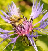 Male bumble bee (Bombus flavifrons) nectaring perennial cornflower (Centaurea montana). (Photo by Kathy Keatley Garvey)