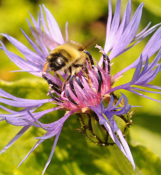 Bottoms Up: A bumble bee (Bombus flavifrons) inside a perennial cornflower (Centaurea montana). (Photo by Kathy Keatley Garvey)