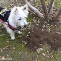 Piper, a West Highland white terrier, aka Westie,