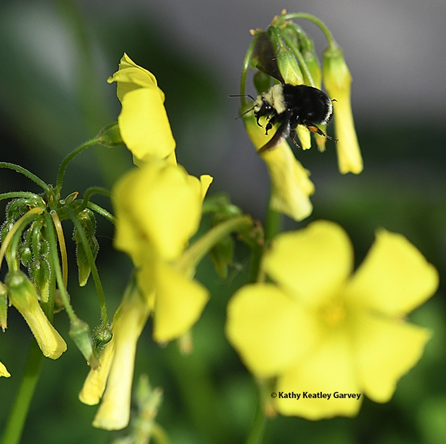 The Bombus vosnesenskii, caught in flight, targets oxalis in Benicia.  (Photo by Kathy Keatley Garvey)
