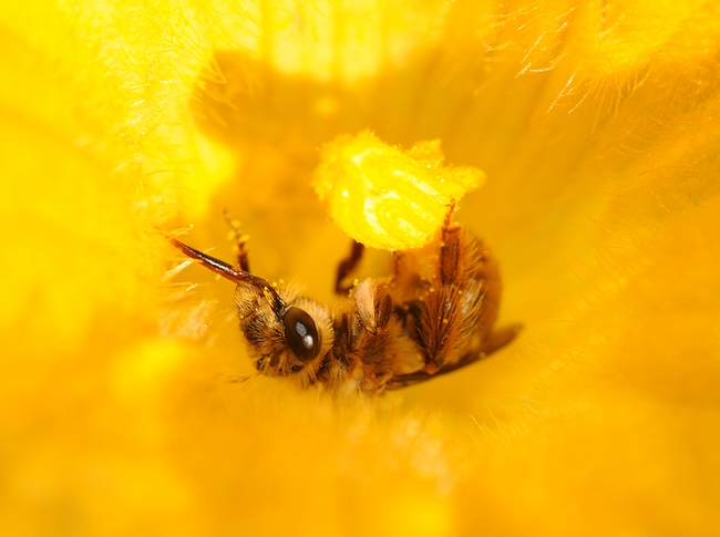 Male squash bee nestled inside a squash blossom. (Photo by Kathy Keatley Garvey)