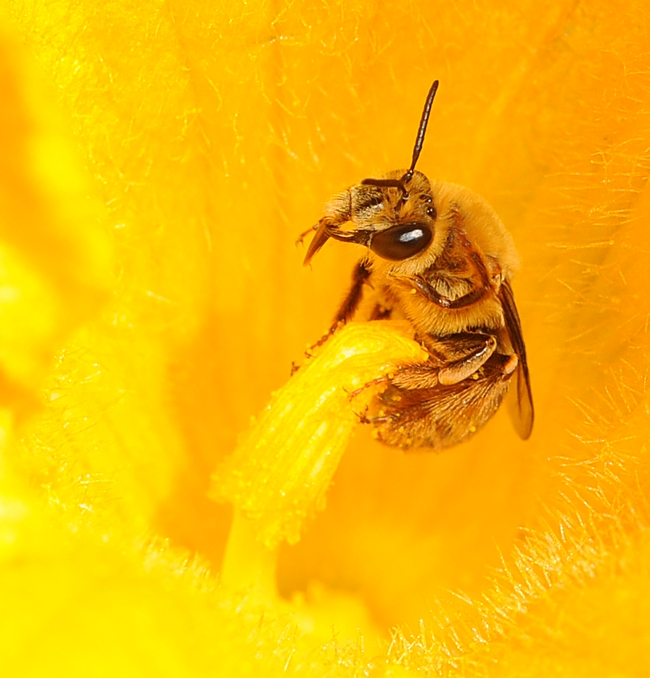 Male squash bee wide awake. (Photo by Kathy Keatley Garvey)