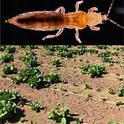 Thrips is a major pest of lettuce production in Salinas. (Illustration courtesy of Daniel Hasegawa)