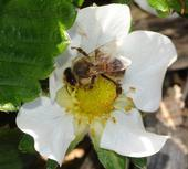 Honey bee pollinating a strawberry blossom. (Photo by Kathy Keatley Garvey)