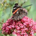 Red admiral, Vanessa atalanta. (Photo by Kathy Keatley Garvey)