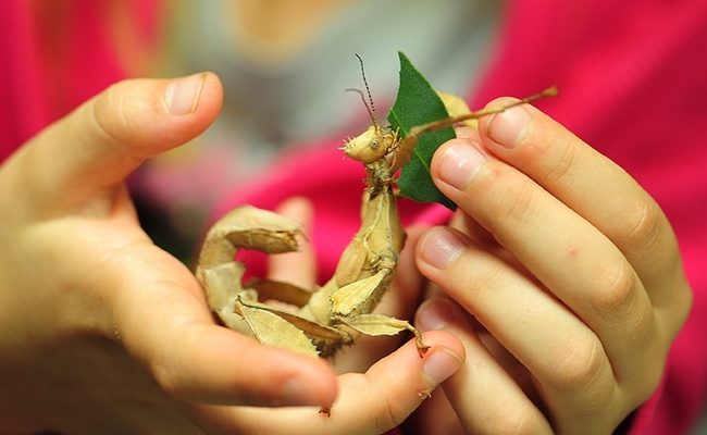 A youngster feeds a stick insect at the Bohart Museum of Entomology. (Photo by Kathy Keatley Garvey)