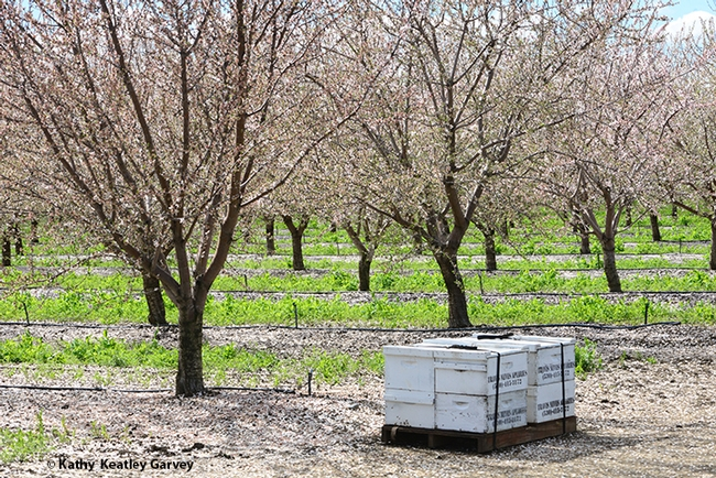 Bee hives in front of an almond orchard on March 8, 2019 in Dixon. (Photo by Kathy Keatley Garvey)