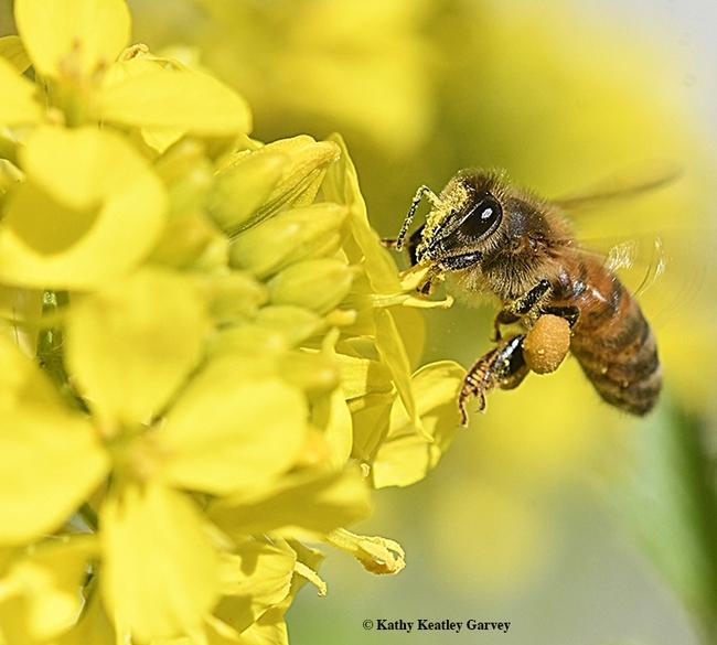 A honey bee loading up on mustard pollen. (Photo by Kathy Keatley Garvey)