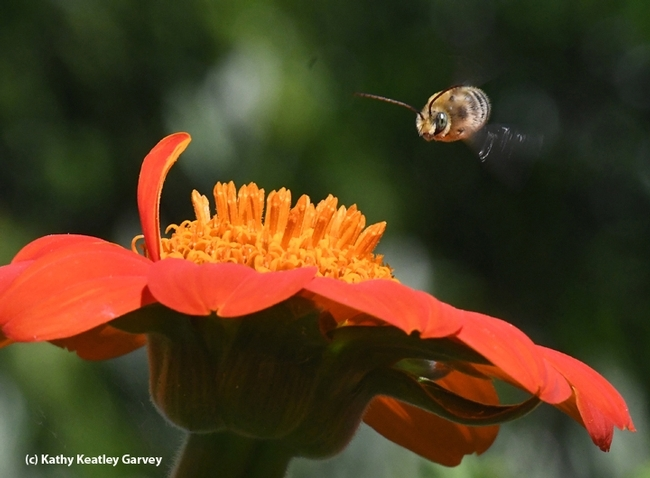 A native bee, Melissodes agilis, on the move as it zooms over a Mexican sunflower (Tithonia). (Photo by Kathy Keatley Garvey)