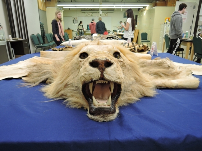 This lion specimen is part of the UC Davis Museum of Wildlife and Fish Biology. (Photo by Kathy Keatley Garvey)