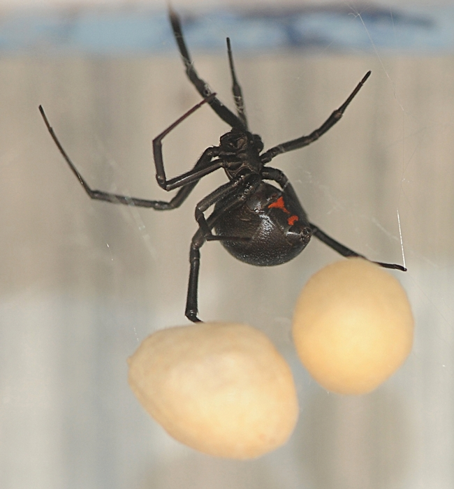 Female black widow spider guarding her egg sacs on the lip of a swimming pool. (Photo by Kathy Keatley Garvey)