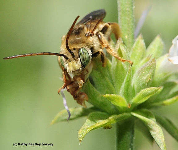 A male longhorned bee, Melissodes communis, in Davis. (Photo by Kathy Keatley Garvey)