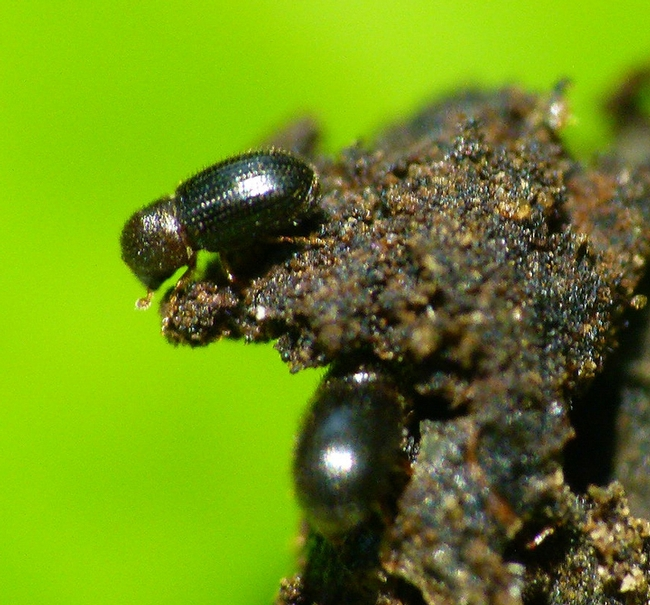 The coffee borer beetle, also known as the coffee berry borer, Hypothenemus hampei. (Courtesy of L. Shyamal, Wikipedia)