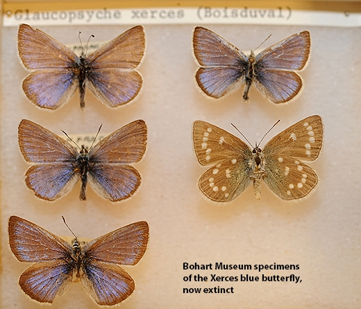 Bohart Museum specimens include the Xerces blue butterfly, Glaucopsyche xerces, now extinct. (Photo by Kathy Keatley Garvey)
