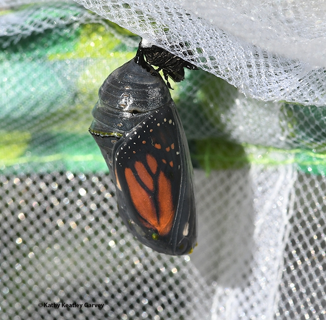 The iconic monarch wings are visible through the translucent chrysalis. (Photo by Kathy Keatley Garvey)