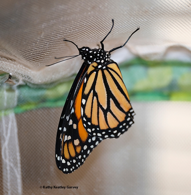 New life! A monarch butterfly, a male, drying its wings. (Photo by Kathy Keatley Garvey)