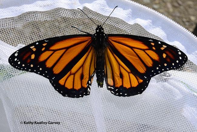 The male monarch spreads its wings. (Photo by Kathy Keatley Garvey)