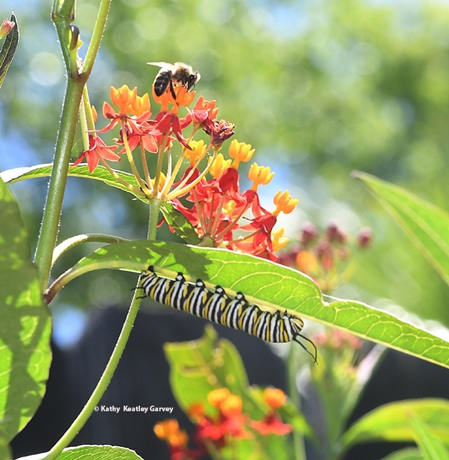 A monarch caterpillar and a honey bee sharing tropical milkweed, Asclepias curassavica, in the summer of 2020 in Vacaville, Calif. (Photo by Kathy Keatley Garvey)