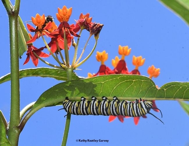 A monarch caterpillar on tropical milkweed in Vacaville, Calif. in the summer of 2020. (Photo by Kathy Keatley Garvey)
