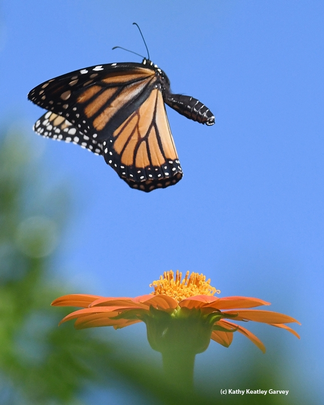 A summer monarch in flight in Vacaville, Calif. (Photo by Kathy Keatley Garvey)