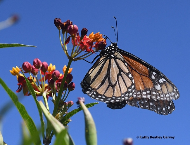 A monarch laying eggs on tropical milkweed in the summer of 2020 in Vacaville. (Photo by Kathy Keatley Garvey)