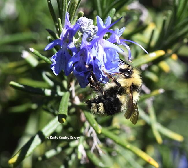 A black-tailed bumble bee, Bombus  melanopygus, foraging on rosemary at the Benicia Capitol State Historic Park on Feb. 23, 2021. (Photo by Kathy Keatley Garvey)