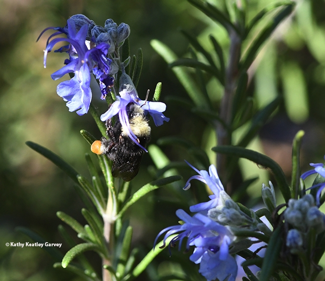 A yellow-faced bumble bee, Bombus vosnesenskii, foraging on rosemary at Glen Cove Marina, Vallejo. (Photo by Kathy Keatley Garvey)